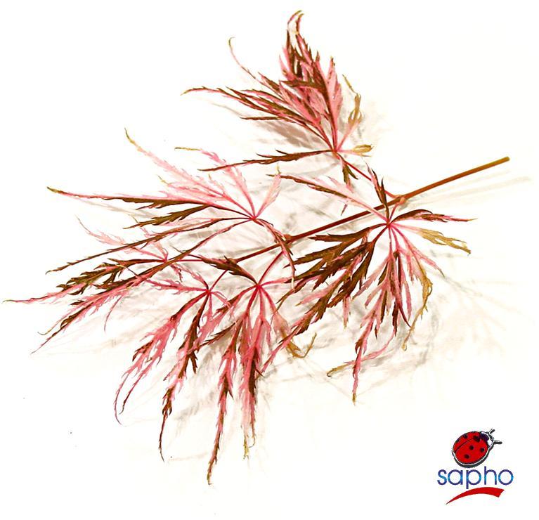 Acer Hana Matoi® at Plandorex.com