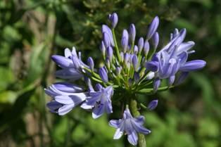 Agapanthus PITCHOUNE Blue® 'Scrarey09'