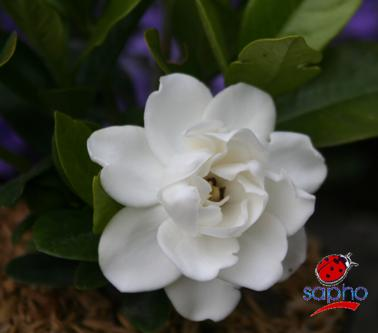 gardenia Crown jewel® at plandorex.com