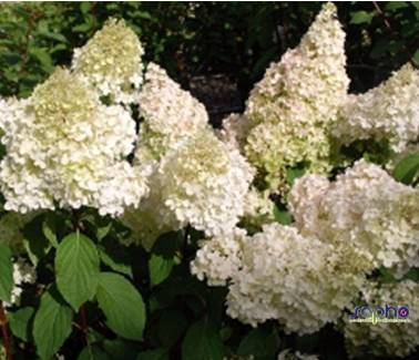 Hydrangea DIAMANTINO® 'ren101' at plandorex.com
