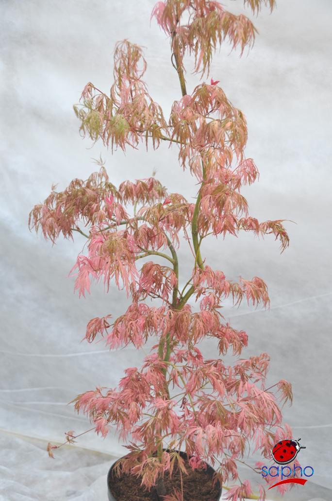 Acer Hana Matoi® Plandorex.com