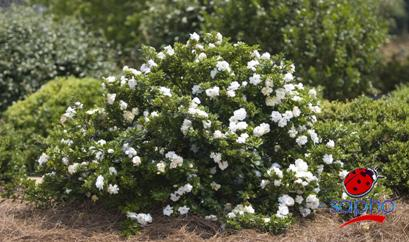 Gardenia Crown Jewel® Plandorex.com