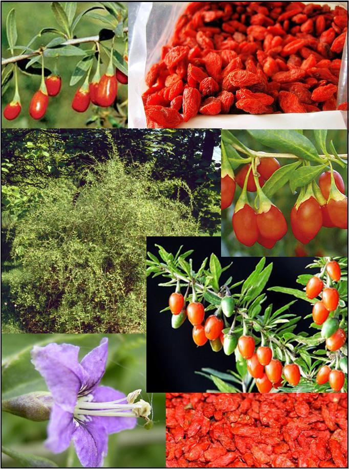 Lycium Barbanum at Plandorex.com