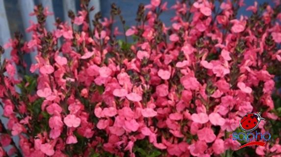 salvia jamensis pluenn at plandorex.com