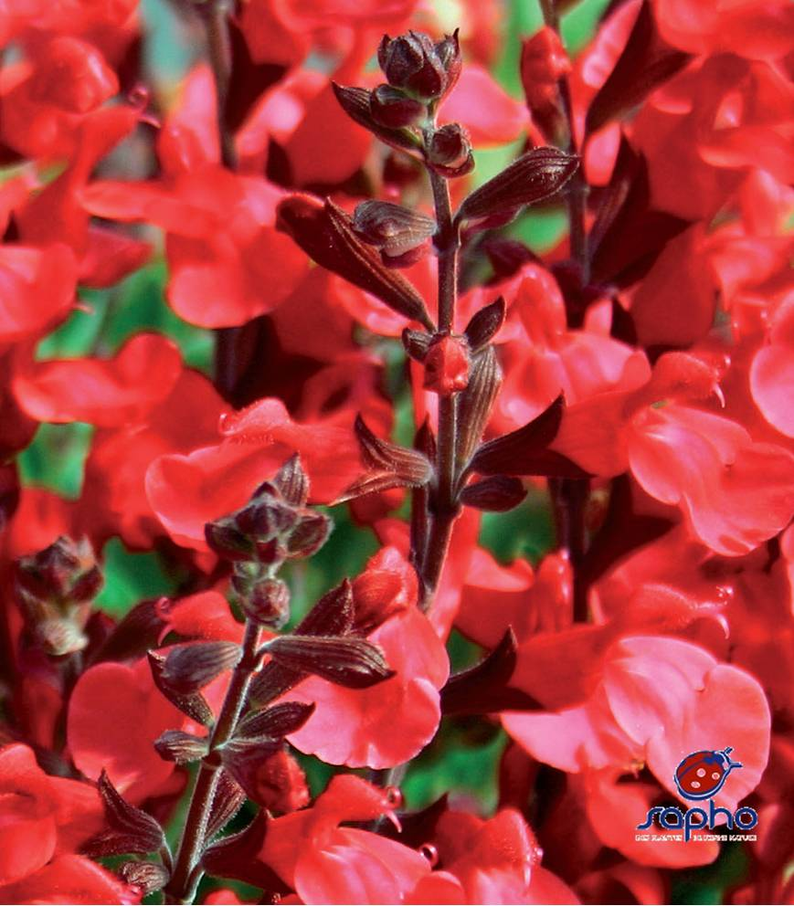 salvia jamensis flammenn cov at plandorex.com
