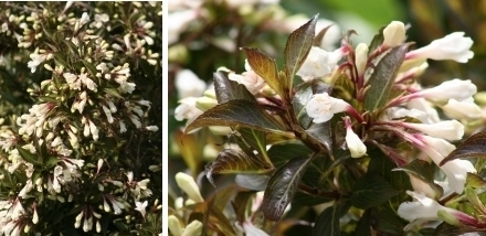 Weigela BLACK AND WHITE® 'Courtacad 1' at plandorex.com