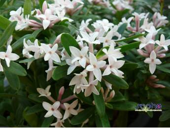 Daphne ETERNAL FRAGRANCE 'Blafra'