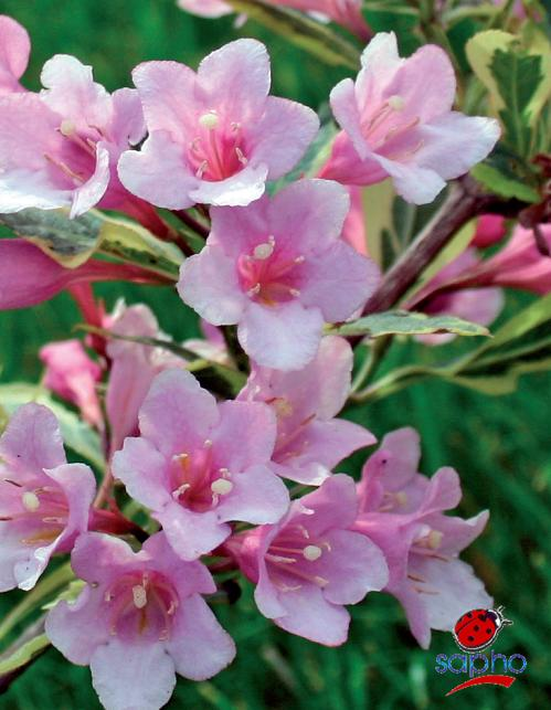 Weigela Magical® Rainbow at Plandorex.com
