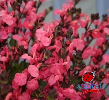 Salvia jamensis PLUENN cov