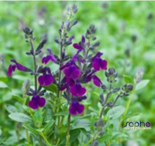 Salvia jamensis VIOLETTE DE LOIRE® 'barsal'
