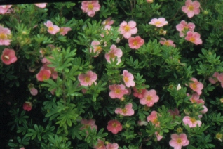 Potentilla Fructicosa Lovely Pink® 'pink beauty' at plandorex.com