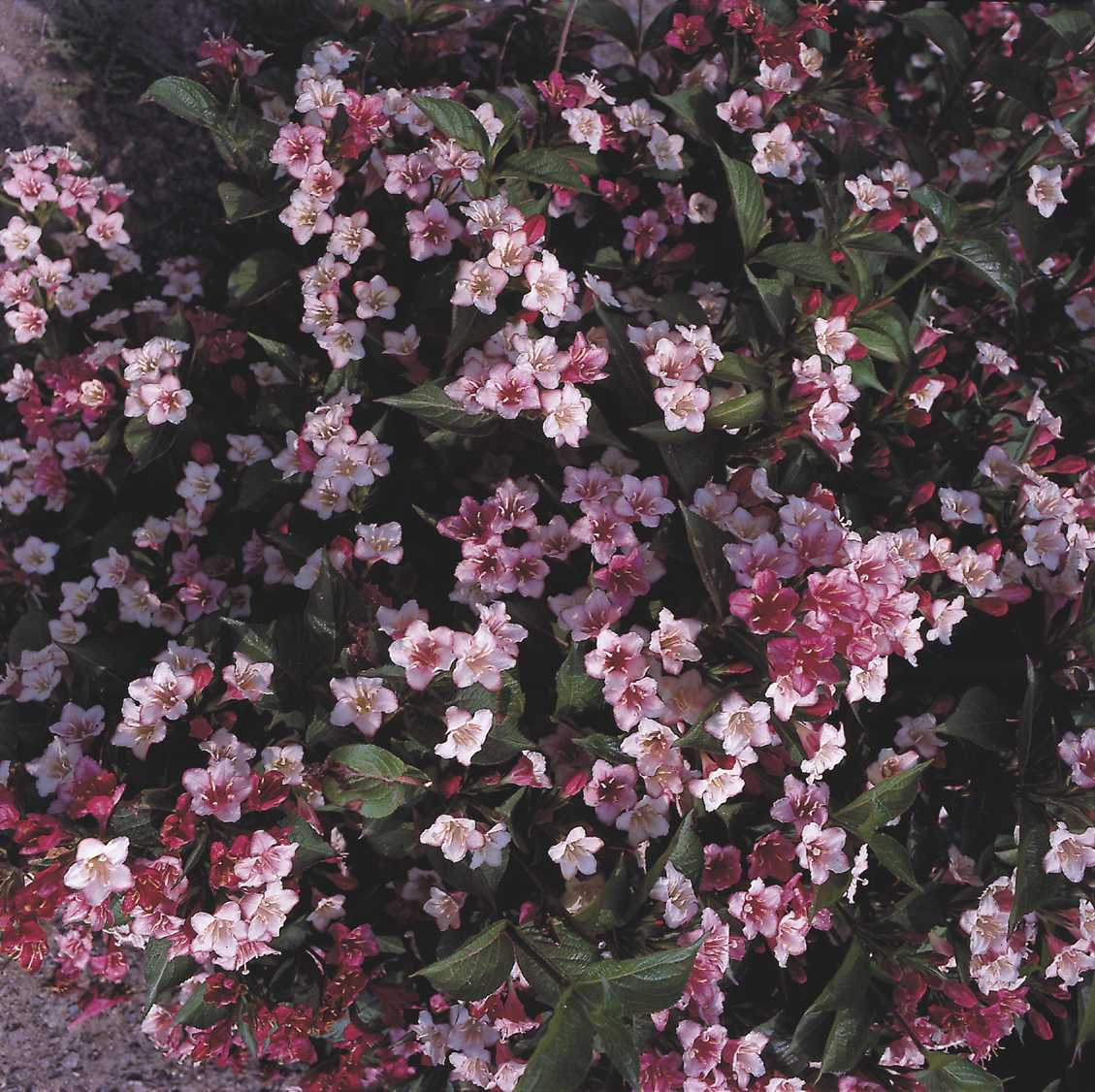ABELIA grandiflora Kaleidoscope ® at plandorex.com